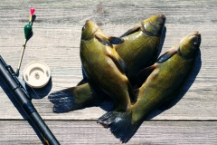 Three tenches, float, rod and a cage on a wooden surface (Tinca tinca). Catch