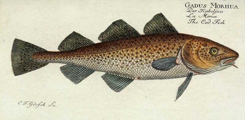 ryby mrożone - dorsz atlantycki