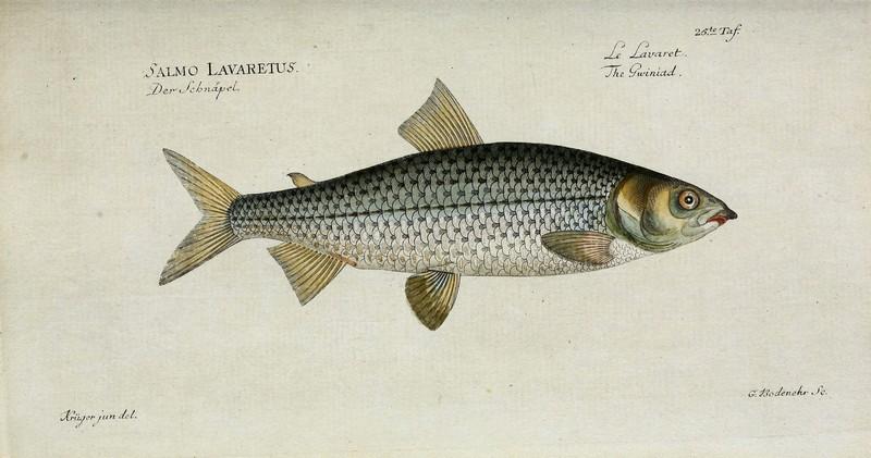 ryby mrożone - sieja