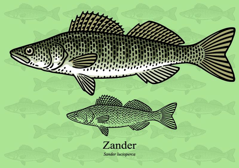 ryby mrożone - sandacz pospolity