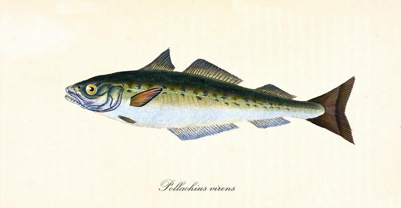 ryby mrożone - dorsz czarny