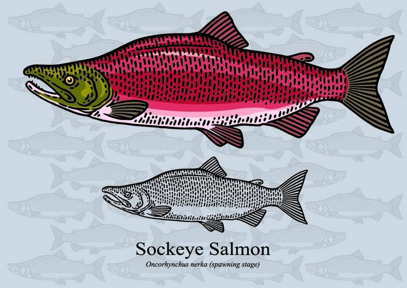 ryby mrożone - łosoś pacyficzny