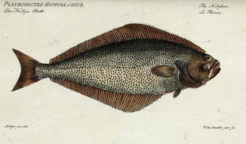ryby mrożone - halibut czarny