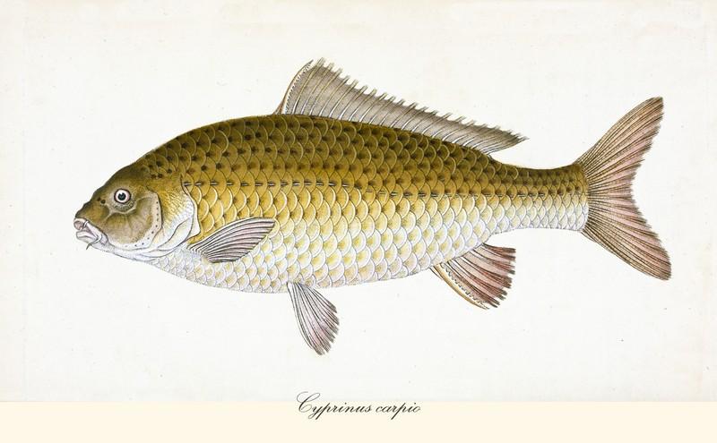 ryby świeże - karp