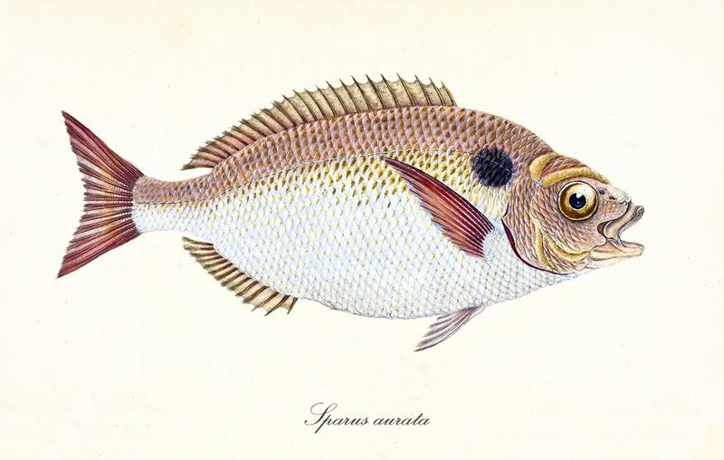 ryby mrożone - dorada