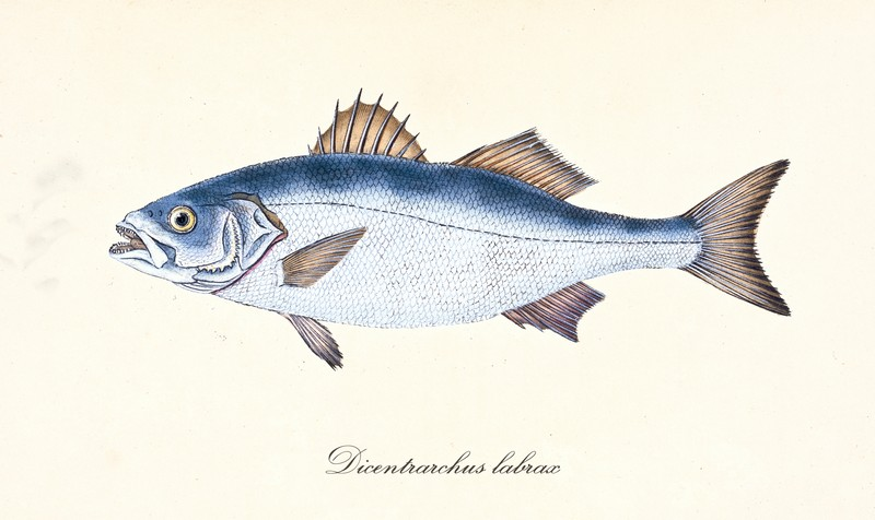 ryby mrożone - labraks
