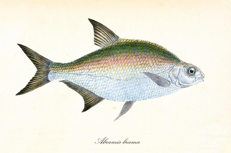 ryby świeże - leszcz