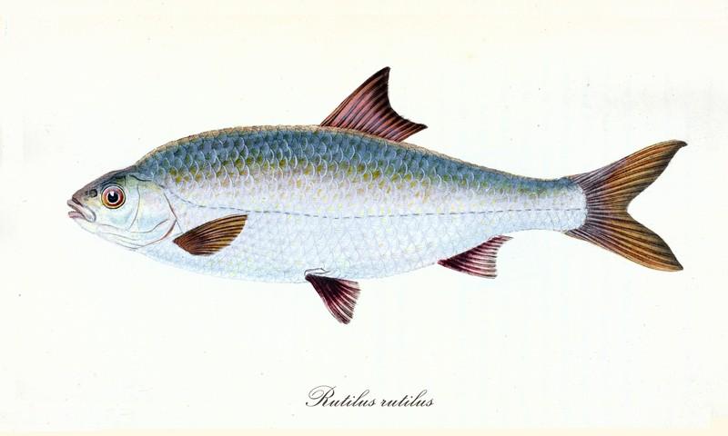 ryby świeże - płoć