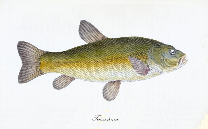 ryby świeże - lin