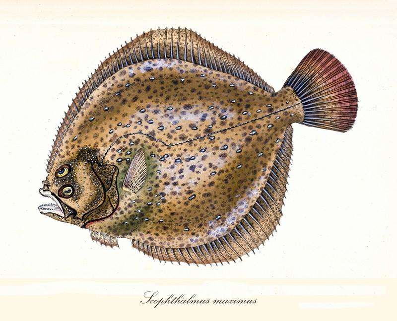 ryby swieże - turbot